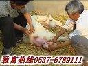 �B羊基地提供小尾寒羊�B殖技�g��l完整版