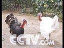 火鸡养殖孔雀养殖野鸡养殖鸵鸟养殖技术