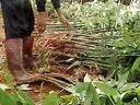 19-发财树的栽培及养护技术视频