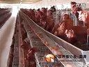 【养殖协会】养鸡入门技术,养鸡技术大全