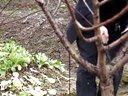 农民大学生技能竞赛参赛作品--二年生桃树冬季整形修剪视频