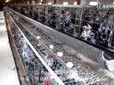 贵妃鸡养殖技术-种鸡场
