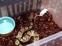 尖吻蝮进食(对纹五步蛇)视频