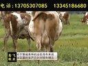 养牛技术西门塔尔牛品种选育视频