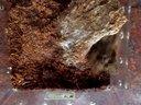 苏拉威西黑捕食大麦虫