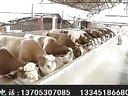 青贮饲料养牛技术秸秆养牛利润肉牛养殖场