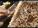蜜蜂�B殖�|技�g_�饲�_1
