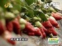 """""""海状元""""中国好种植--这儿的草莓身价高视频"""