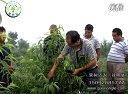 一年生主干型桃树夏季修剪技术视频