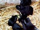 一群?丝黑豚鼠抢夺青草食物互相斗争视频