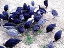 湖南火鸡苗,小型火鸡贝帝那,中型火鸡青铜,重型火鸡尼古拉