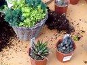 简单制作多肉植物组合盆栽的方法【醉花网】视频