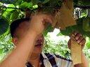 猕猴桃种植,不看后悔!视频
