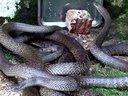 交流养蛇技术经验(广西养蛇、水律蛇、眼镜蛇、蛇房蛇仓蛇场建造蛇苗蛇蛋孵化技术)视频