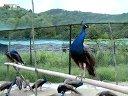 宁波穆氏孔雀养殖基地视频