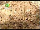 桃树早期优质丰产栽培技术视频