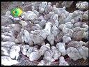名贵珍禽-河田鸡视频