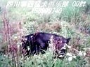 攀枝花卡斯罗VS肩高73巨型罗威。四川攀西猛犬俱乐部QQ群158999740