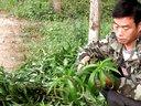 桃树秋季木质嵌芽接换头技术视频
