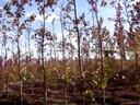 美国红枫小苗基地,美国红枫扦插苗基地-青岛红枫枫红园林视频