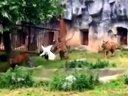 发情期的丹顶鹤不小心掉进了虎园,竟追着3只老虎跑