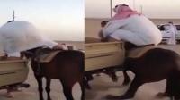 中东土豪一屁股坐垮小马