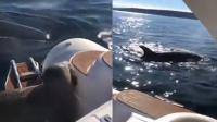机智海豹爬上游艇躲虎鲸追杀