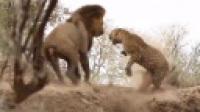 实拍:酣睡豹子遭狮子偷袭