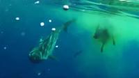 震撼!鲨鱼吞噬牛残忍现场