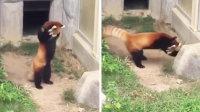 一只被石头吓坏的小熊猫.flv