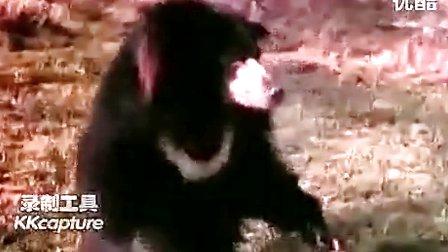 老虎vs懒熊