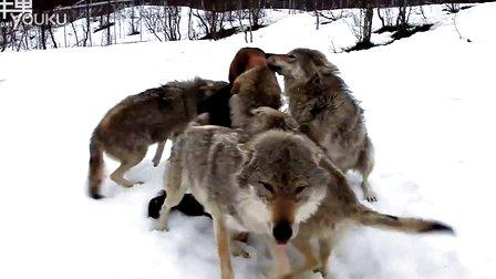 """你见过这么""""热情""""的狼吗?"""