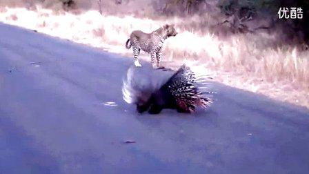 惊呆了!实拍美洲豹捕猎豪猪
