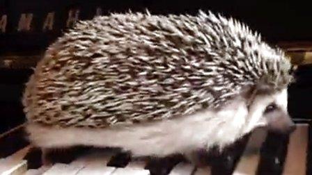 刺猬弹钢琴,小肉球萌死人不偿命!