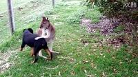袋鼠跟汪星人一起快乐的玩耍