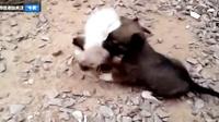 小狗骚扰幼猫被反压 哀号引来老妈即刻救援