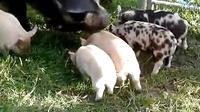 哈哈哈,这只小猪一定不是亲生的