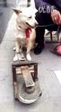 这是一只得道高狗。。。好屌啊!