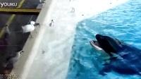 机智的逆戟鲸会用小鱼来捕鸟