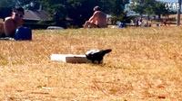 乌鸦与披萨盒,这货好聪明!
