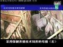最新科学养猪讲座18_最新养猪技术_养猪视频