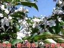 甜茶树开花(蒙山海棠树)沂蒙湾苗木基地视频