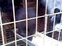 河北昌黎彦伟狐貉养殖场出售白狐狸,貉子113785072511