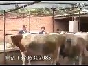 农村养牛技术视频