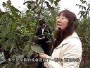 《金色田野》第75期核桃树的整形修剪要点观赏鸟的饲养技术视频