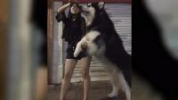 兩百斤的大狗被女主人訓練的服服帖帖, 敢問你的尊嚴何在?