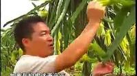 神農氏農業視頻火龍果種植技術