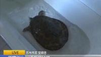 """新聞36020170830河里的稀罕物 蘇州:市民釣到""""甲魚"""" 竟是外來物種 高清"""