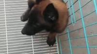 陜西咸陽哪里有賣馬犬的養殖場【老兵犬舍正規馬犬繁育基地】